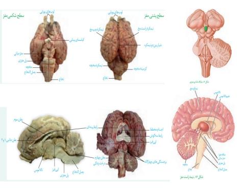 تشریح مغز
